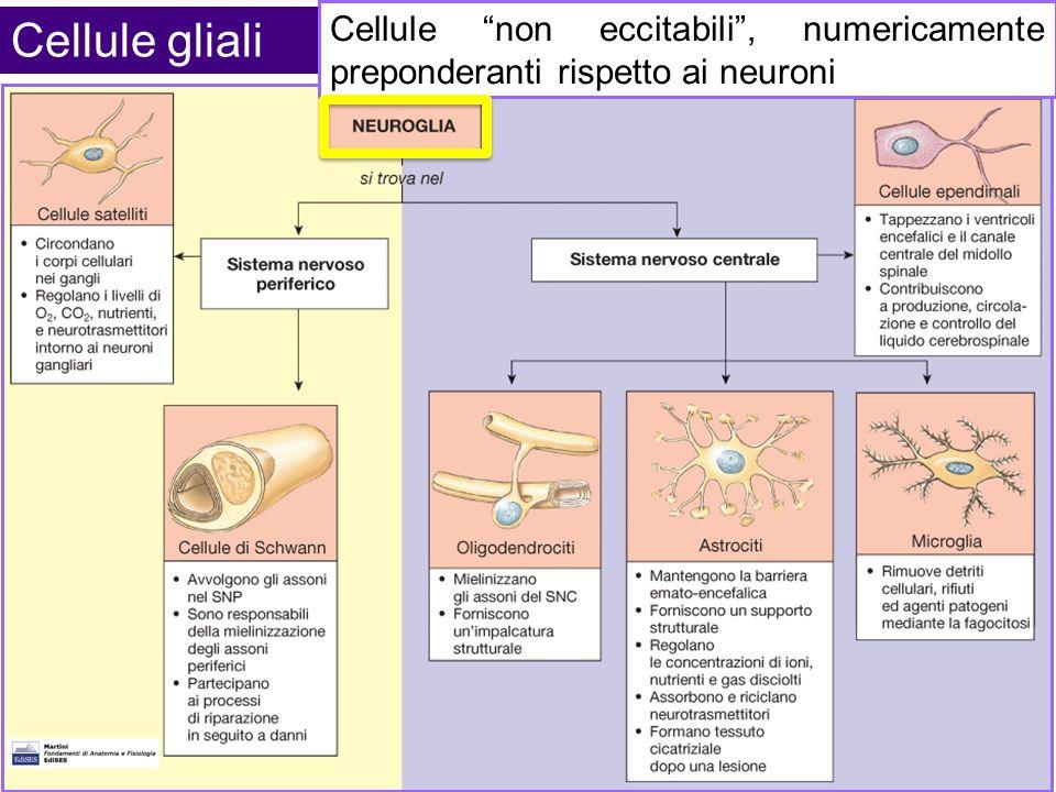 Cellule gliali Cellule non eccitabili , numericamente preponderanti rispetto ai neuroni.