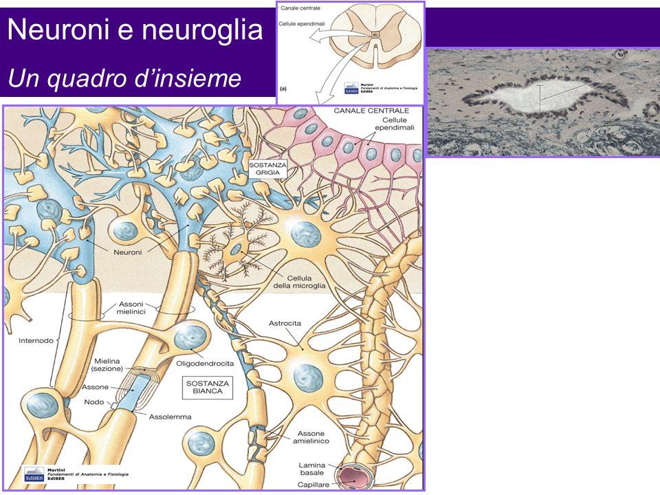 Neuroni e neuroglia Un quadro d'insieme