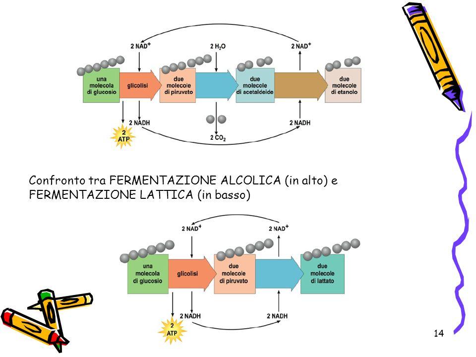 Confronto tra FERMENTAZIONE ALCOLICA (in alto) e FERMENTAZIONE LATTICA (in basso)