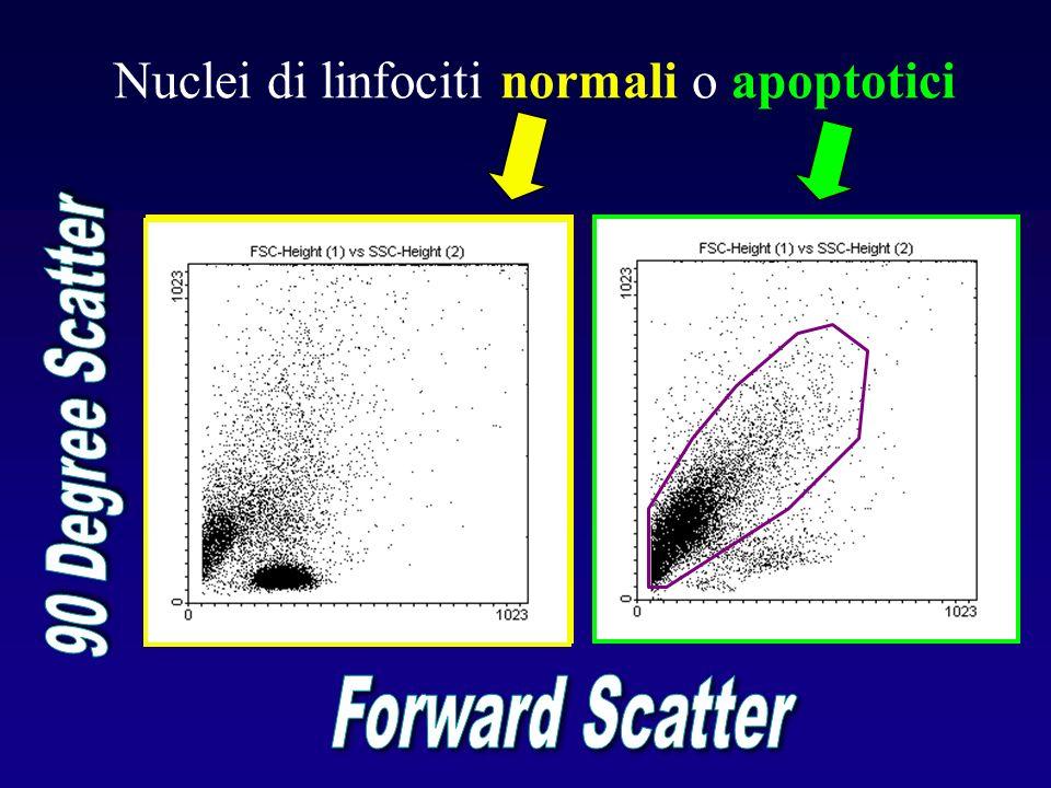 Nuclei di linfociti normali o apoptotici