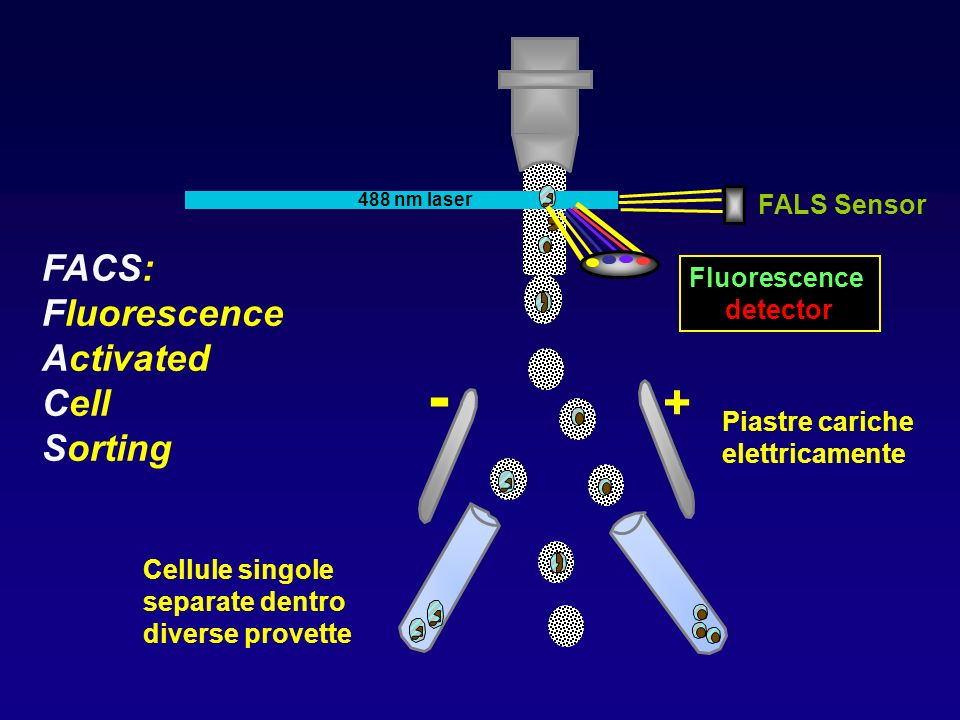 - + FACS: Fluorescence Activated Cell Sorting FALS Sensor Fluorescence