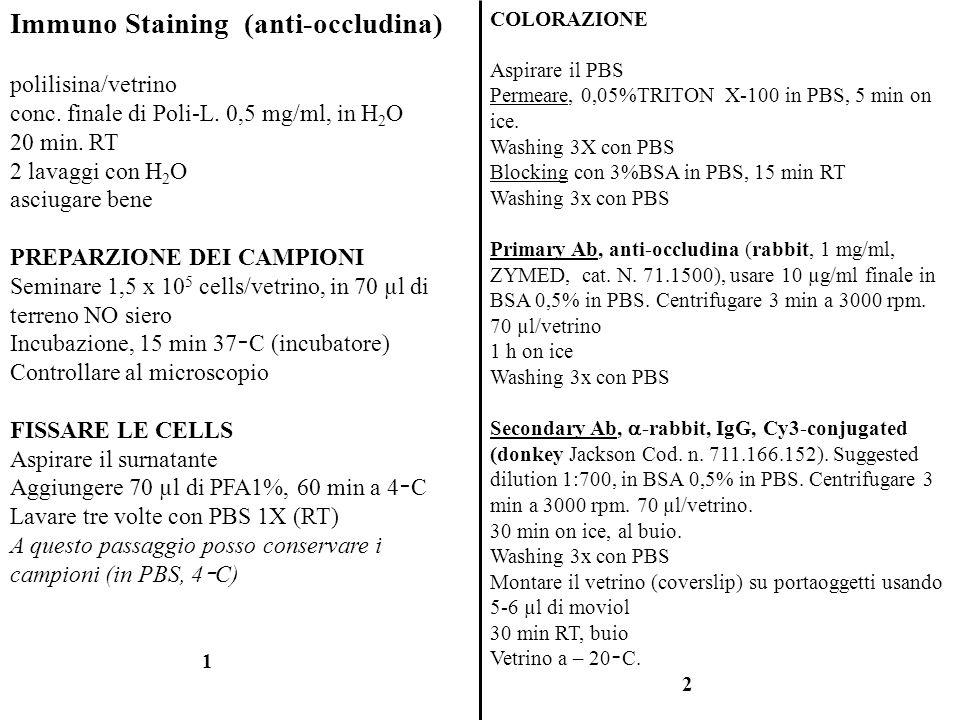 Immuno Staining (anti-occludina)