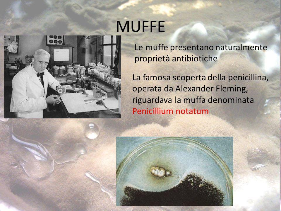 MUFFE Le muffe presentano naturalmente proprietà antibiotiche