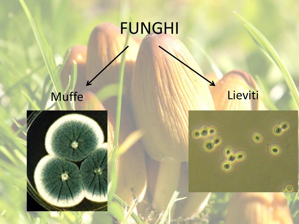 FUNGHI Muffe Lieviti