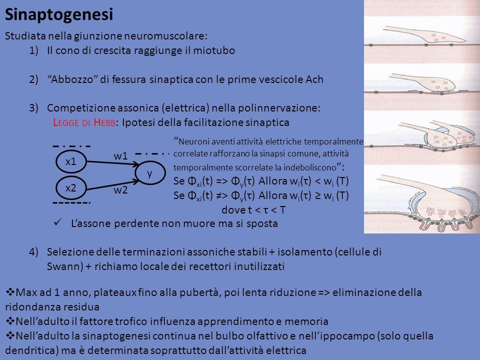 Sinaptogenesi Studiata nella giunzione neuromuscolare: