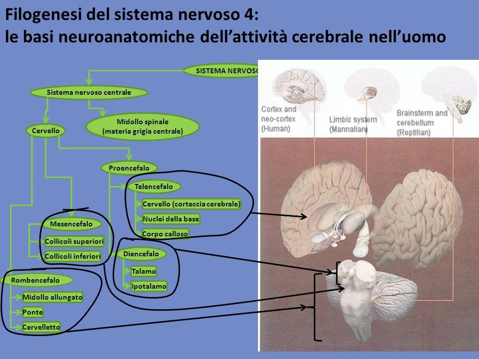 Filogenesi del sistema nervoso 4: