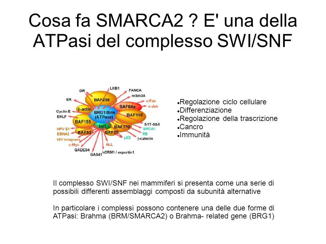 Cosa fa SMARCA2 E una della ATPasi del complesso SWI/SNF
