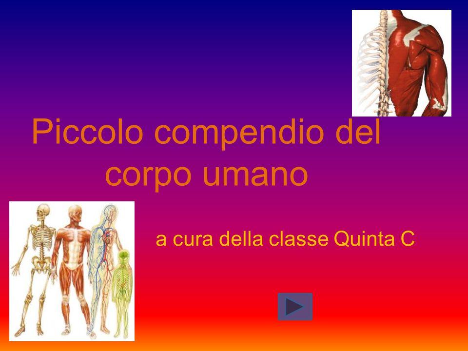 Piccolo compendio del corpo umano