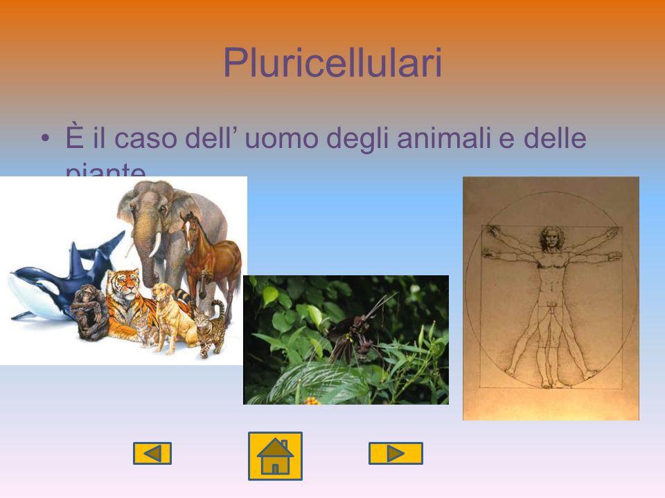 Pluricellulari È il caso dell' uomo degli animali e delle piante