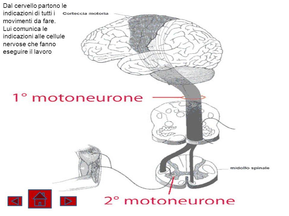 Dal cervello partono le indicazioni di tutti i movimenti da fare.