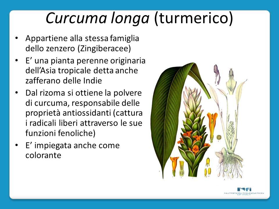 Curcuma longa (turmerico)