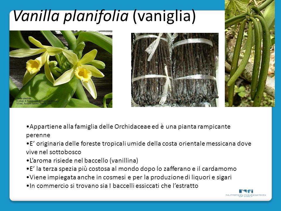 Vanilla planifolia (vaniglia)