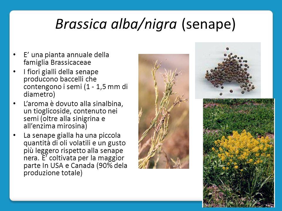 Brassica alba/nigra (senape)