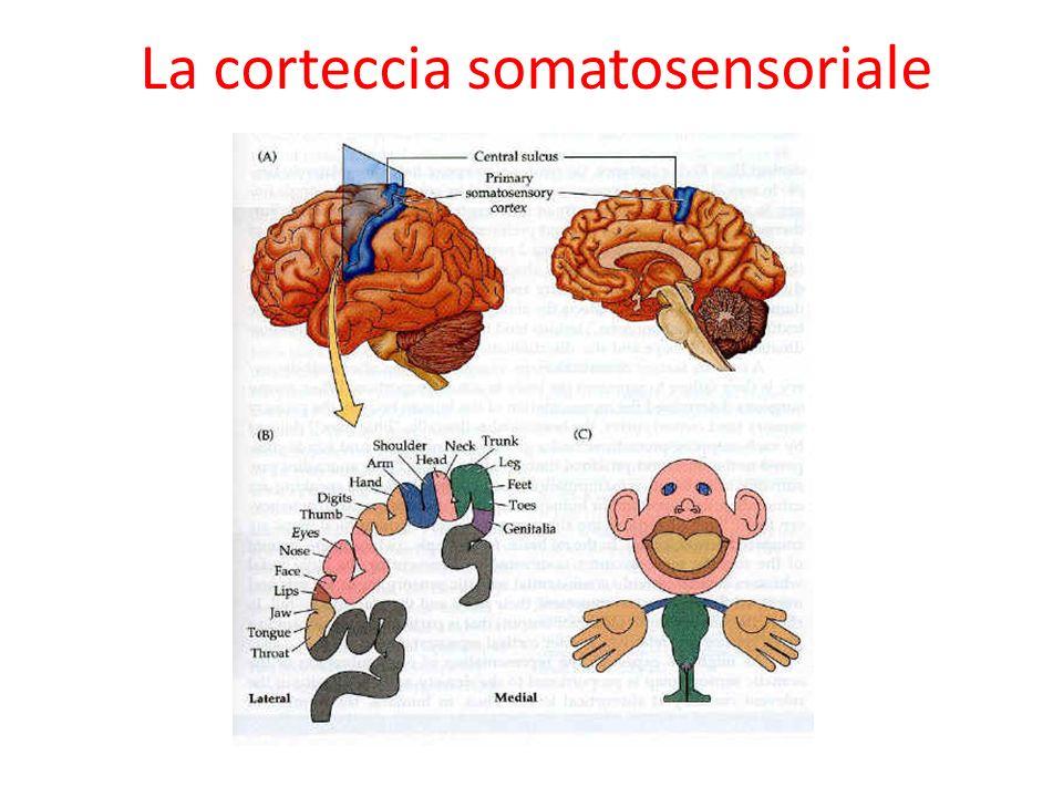 La corteccia somatosensoriale