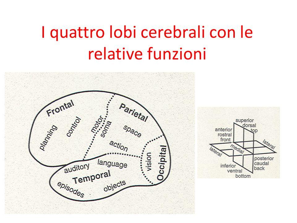 I quattro lobi cerebrali con le relative funzioni