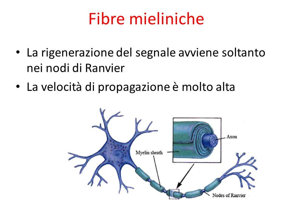 Fibre mieliniche La rigenerazione del segnale avviene soltanto nei nodi di Ranvier.