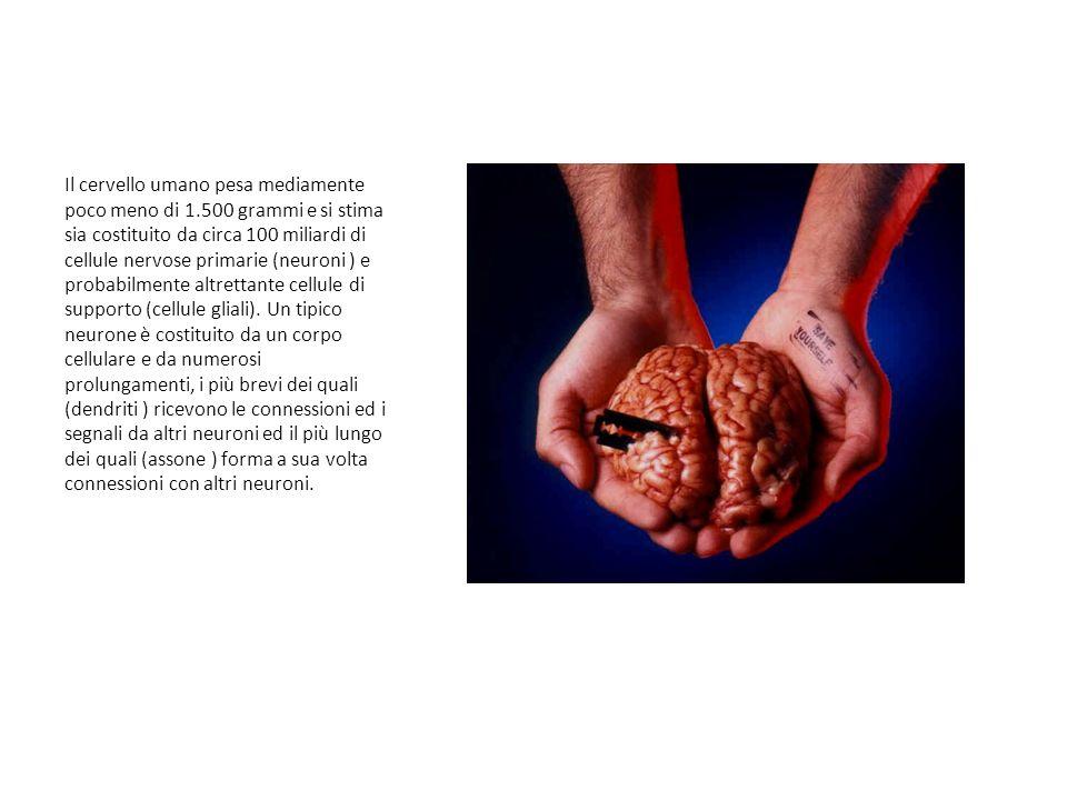 Il cervello umano pesa mediamente poco meno di 1