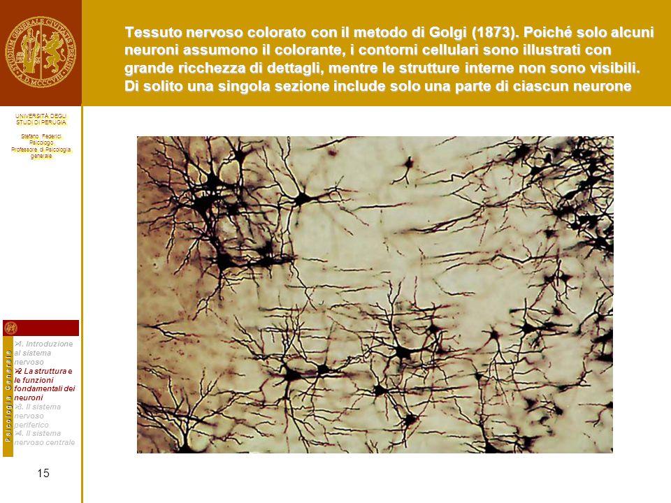 Tessuto nervoso colorato con il metodo di Golgi (1873)