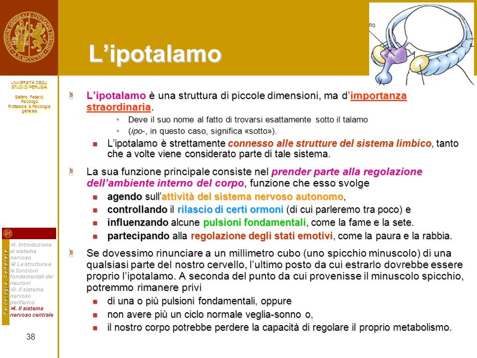 L'ipotalamo L'ipotalamo è una struttura di piccole dimensioni, ma d'importanza straordinaria.