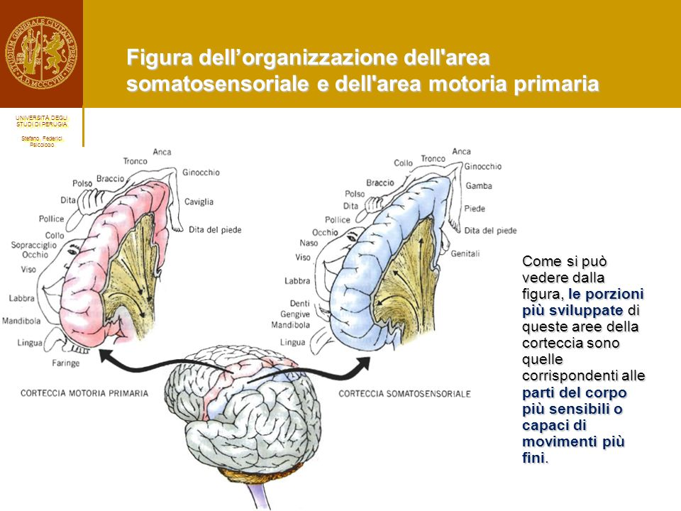 Figura dell'organizzazione dell area somatosensoriale e dell area motoria primaria