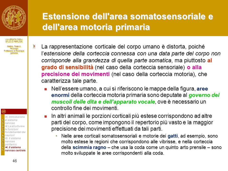 Estensione dell area somatosensoriale e dell area motoria primaria