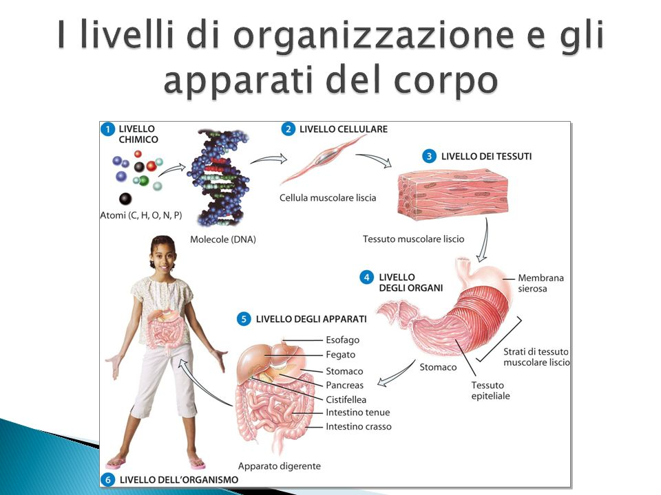 I livelli di organizzazione e gli apparati del corpo