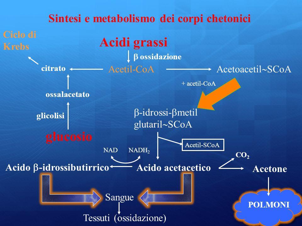 Acidi grassi glucosio Sintesi e metabolismo dei corpi chetonici