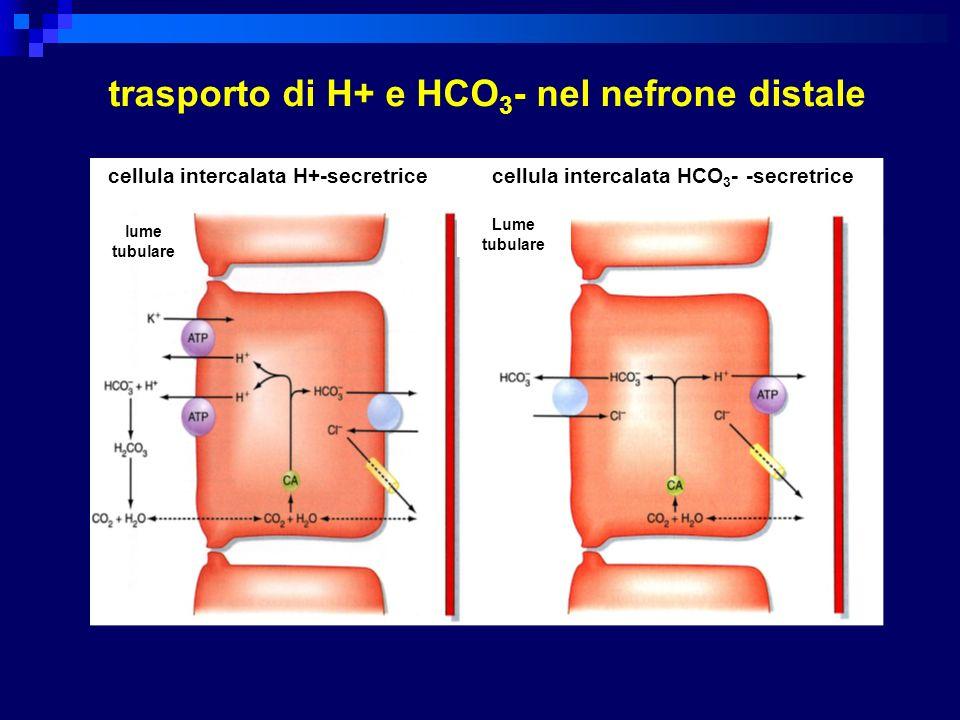 trasporto di H+ e HCO3- nel nefrone distale