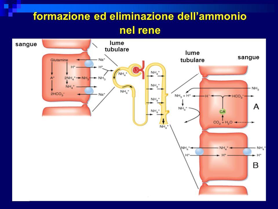 formazione ed eliminazione dell'ammonio