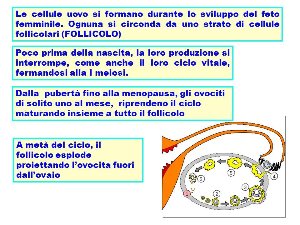 Le cellule uovo si formano durante lo sviluppo del feto femminile