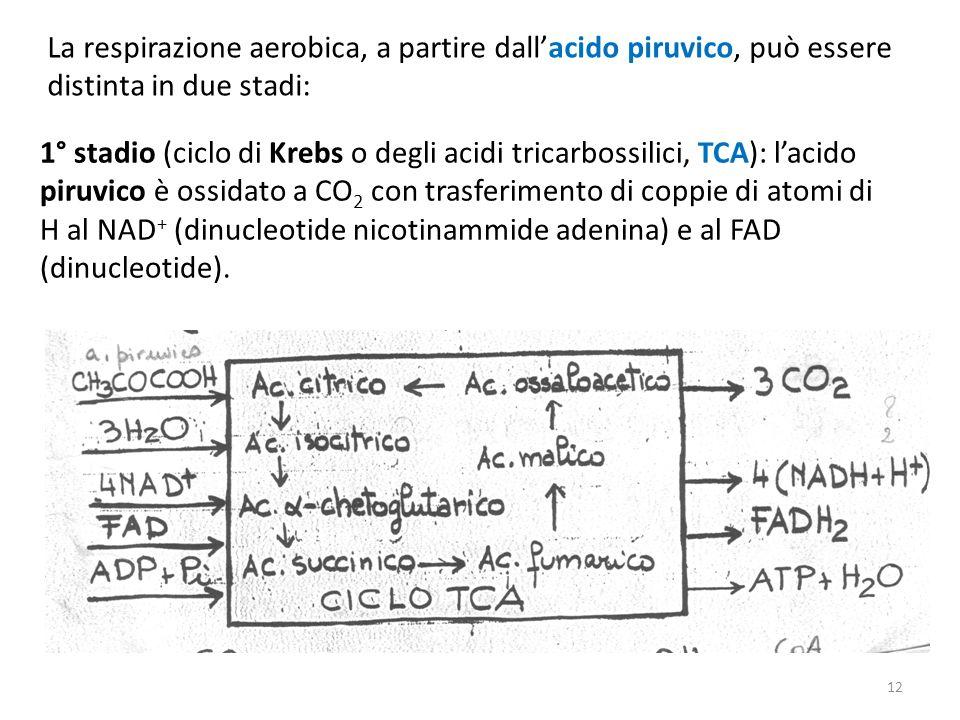 La respirazione aerobica, a partire dall'acido piruvico, può essere distinta in due stadi: