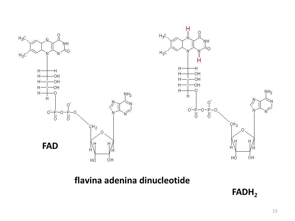 FAD flavina adenina dinucleotide FADH2