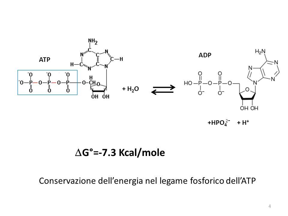 + H2O ATP. ADP. +HPO4. 2- + H+ DG°=-7.3 Kcal/mole.