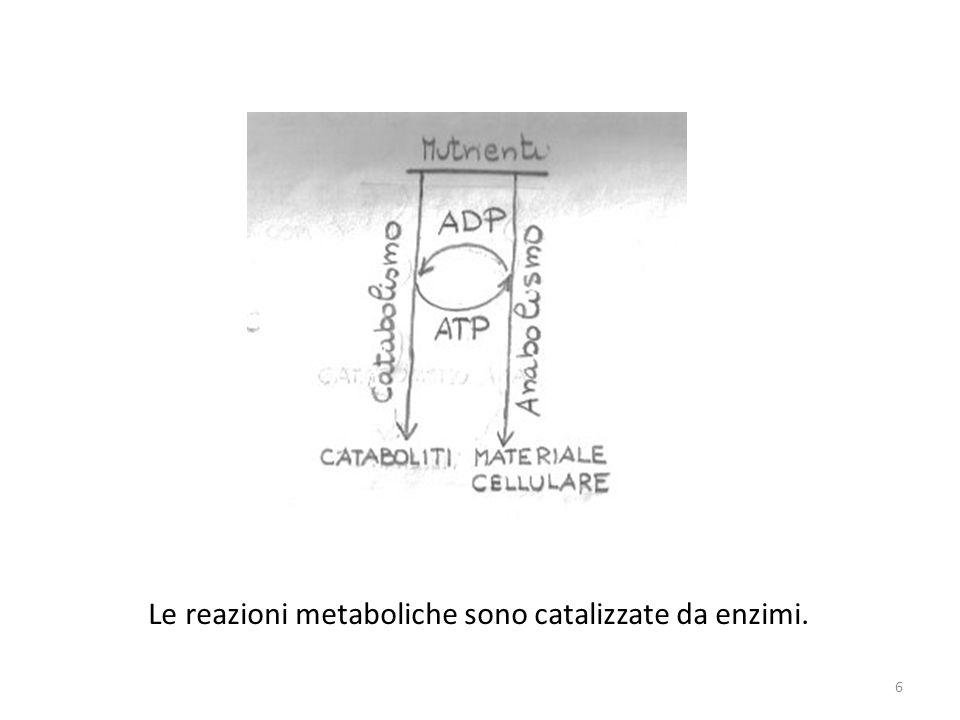 Le reazioni metaboliche sono catalizzate da enzimi.