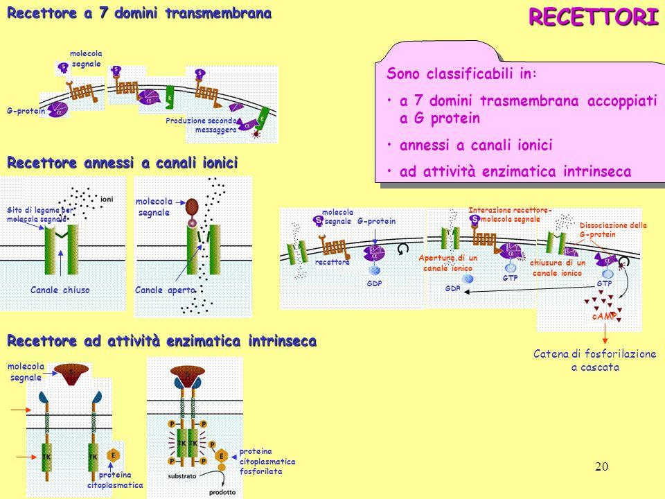 RECETTORI Recettore a 7 domini transmembrana Sono classificabili in: