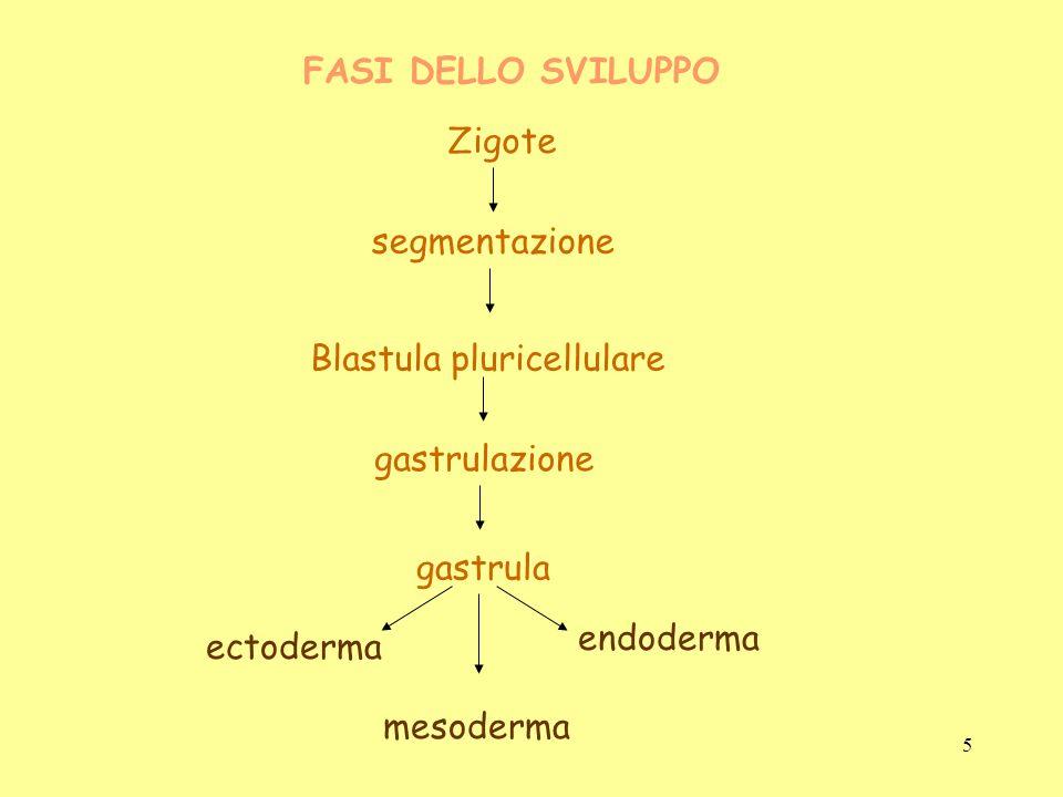 Blastula pluricellulare