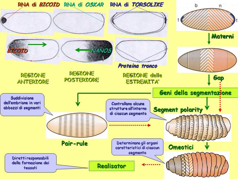 REGIONE delle ESTREMITA' Geni della segmentazione
