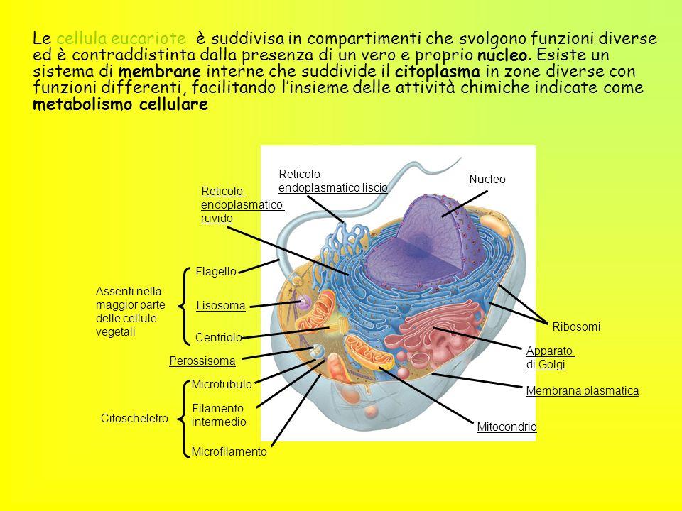 Le cellula eucariote è suddivisa in compartimenti che svolgono funzioni diverse ed è contraddistinta dalla presenza di un vero e proprio nucleo. Esiste un sistema di membrane interne che suddivide il citoplasma in zone diverse con funzioni differenti, facilitando l'insieme delle attività chimiche indicate come metabolismo cellulare