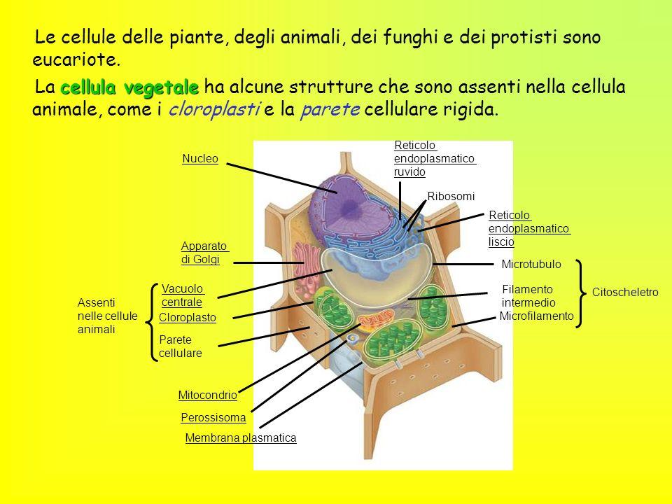 Le cellule delle piante, degli animali, dei funghi e dei protisti sono eucariote.