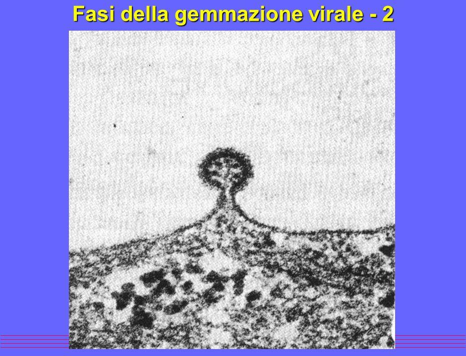Fasi della gemmazione virale - 2