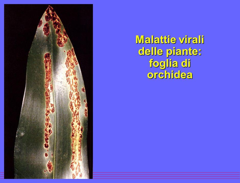 Malattie virali delle piante: foglia di orchidea