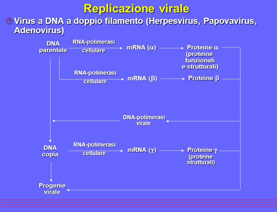 Replicazione virale Virus a DNA a doppio filamento (Herpesvirus, Papovavirus, Adenovirus) RNA-polimerasi.