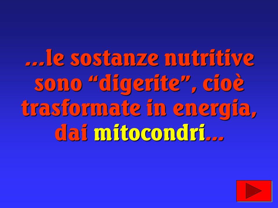 …le sostanze nutritive sono digerite , cioè trasformate in energia, dai mitocondri...