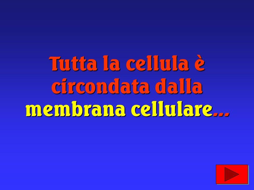 Tutta la cellula è circondata dalla membrana cellulare...