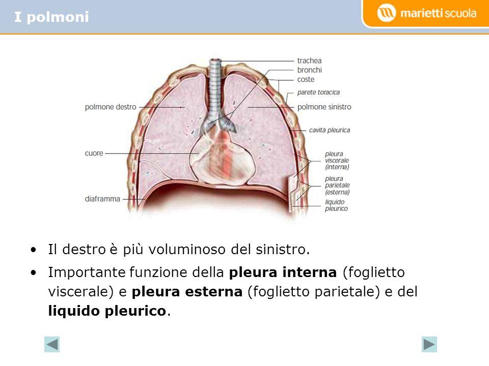 I polmoni Il destro è più voluminoso del sinistro.