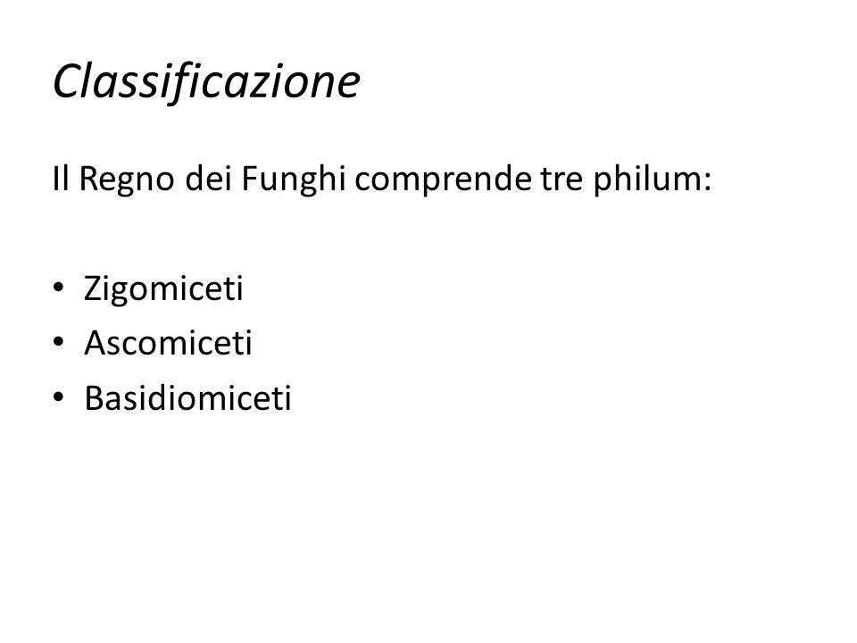 Classificazione Il Regno dei Funghi comprende tre philum: Zigomiceti