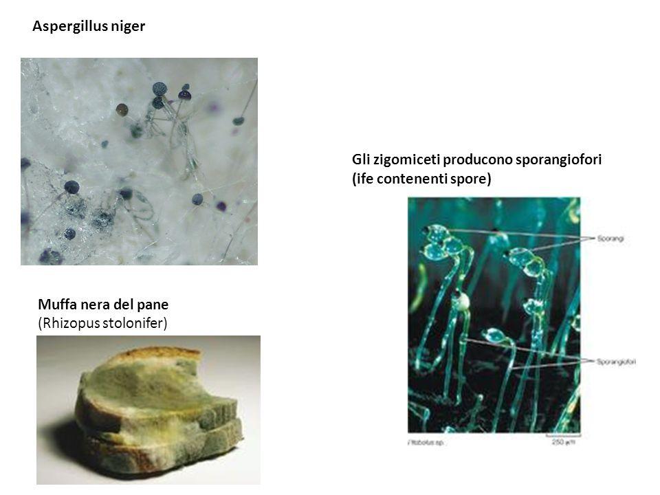 Aspergillus niger Gli zigomiceti producono sporangiofori