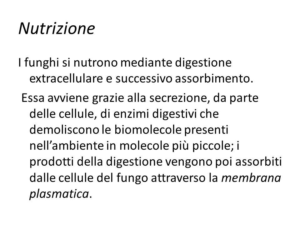 Nutrizione I funghi si nutrono mediante digestione extracellulare e successivo assorbimento.