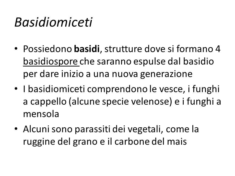 Basidiomiceti Possiedono basidi, strutture dove si formano 4 basidiospore che saranno espulse dal basidio per dare inizio a una nuova generazione.