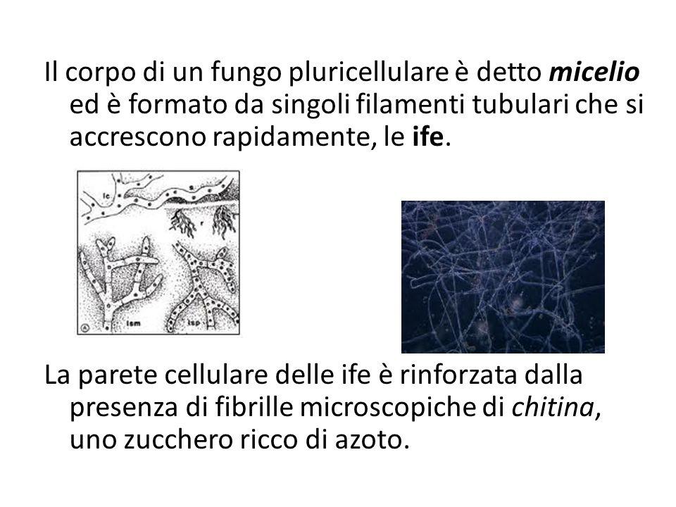Il corpo di un fungo pluricellulare è detto micelio ed è formato da singoli filamenti tubulari che si accrescono rapidamente, le ife.